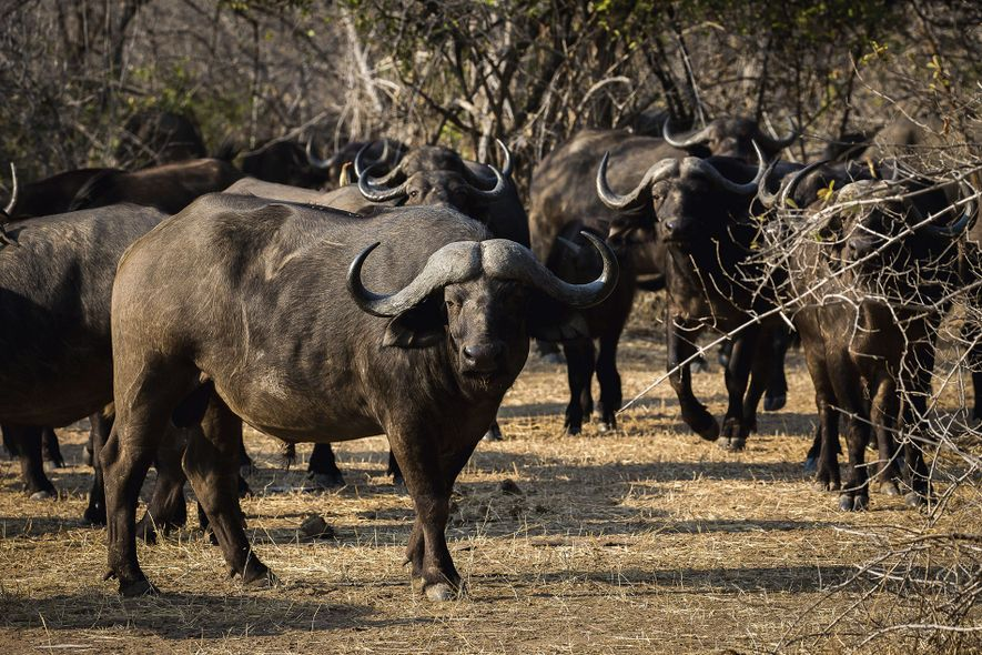 Wildlife sightings in Zimbabwe, like the encounter with these water buffalos, aren't marred by hoards of ...