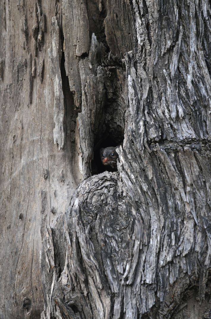 A mongoose hiding  in a tree nook