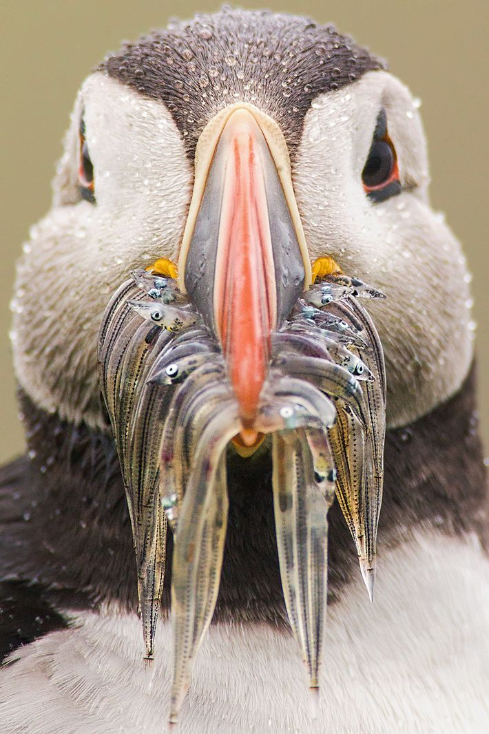 The Atlantic puffin can hold a large number of small fish in its spacious beak.