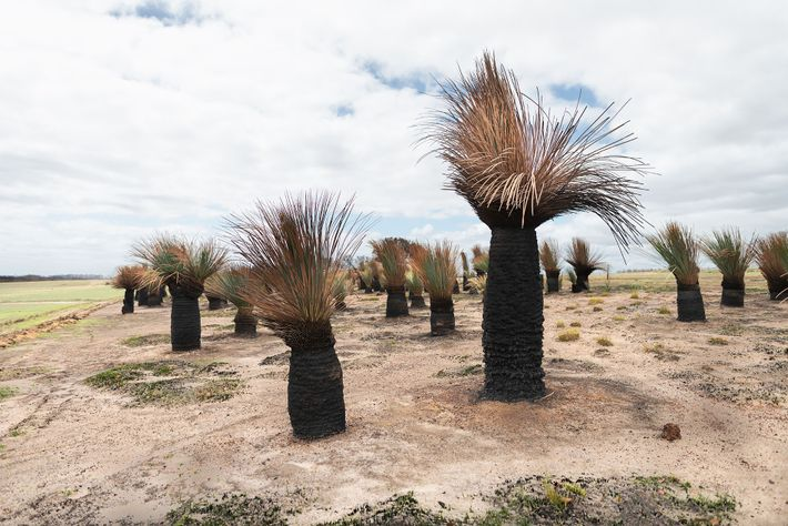Yacca, also known as Tate's Grass Tree, grows very slowly — around 25mm per year — ...