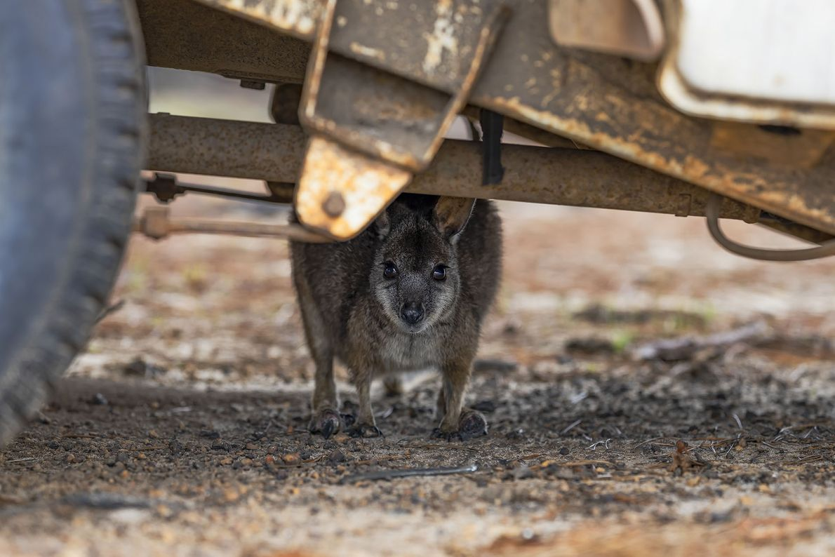 A wallaby with burned feet shelters under a burned-out vehicle after the bush fires.