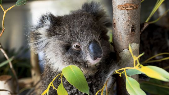 One of the lucky ones: an orphaned koala rescued from the bushfires begins its recovery at ...