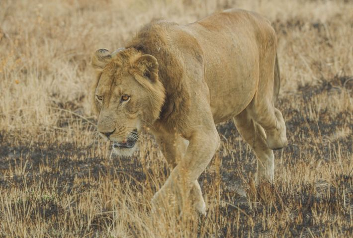 jacob the lion