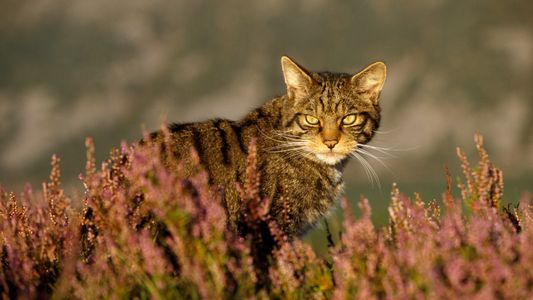 Amidst hybridisation and habitat disruption, the 'Highland tiger' is clinging on by a claw.