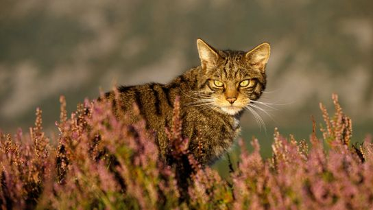 A male Scottish wildcat (Felis silvestris) in heather, Cairngorms National Park. Insidiously disappearing into the gene pool of ...