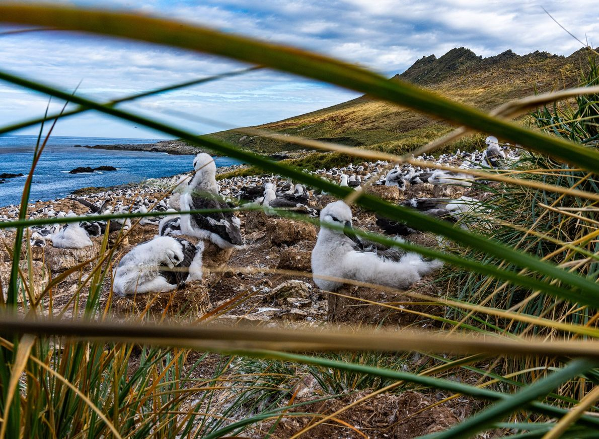 In the Falkland Islands, black-browed albatrosses nest in coastal grasslands, though their typical habitat is cliffside ...