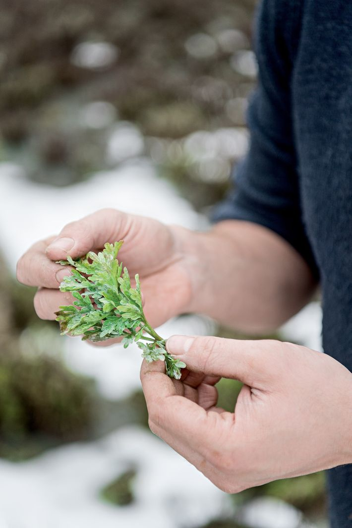 Pierre Guy holds fresh wormwood grown in the garden of Distillerie Guy, located in Pontarlier, France.