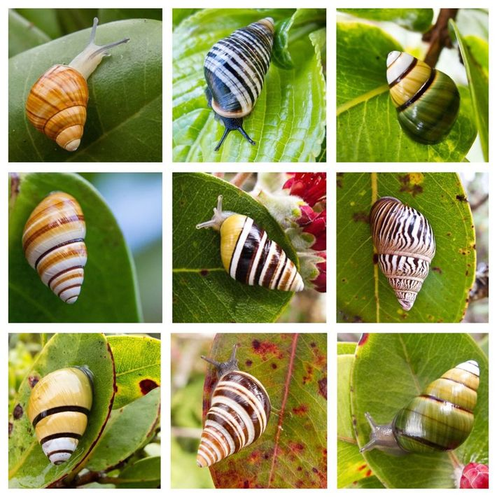Snails in the Achatinellinae family live on multiple Pacific islands, but are most diverse in Hawaii. ...