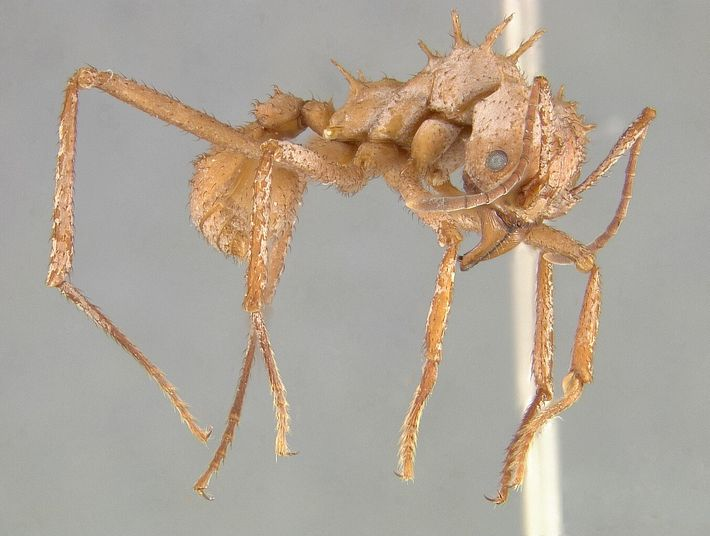 Acromyrmex echinatior's armor helps it survive wars with other ant species