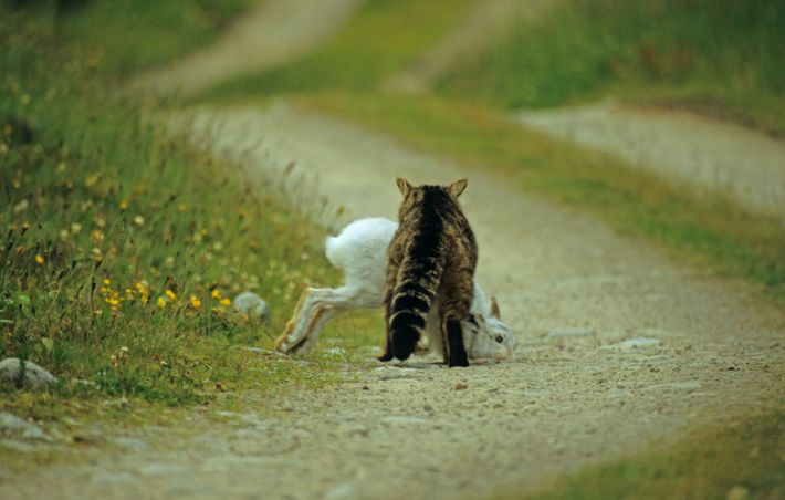 A wild cat makes off with a mountain hare prey on a forest path in the ...