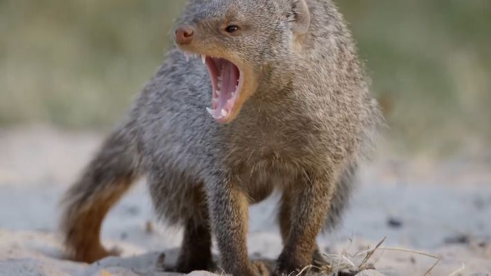Watch: banded mongooses are equipped for the kill… and the snake never had a chance