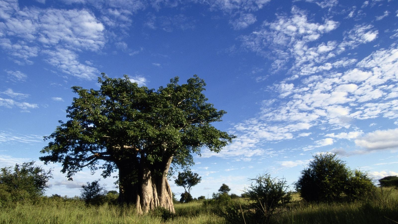 A towering baobab tree dominates the landscape on the savanna of Kruger National Park in South ...