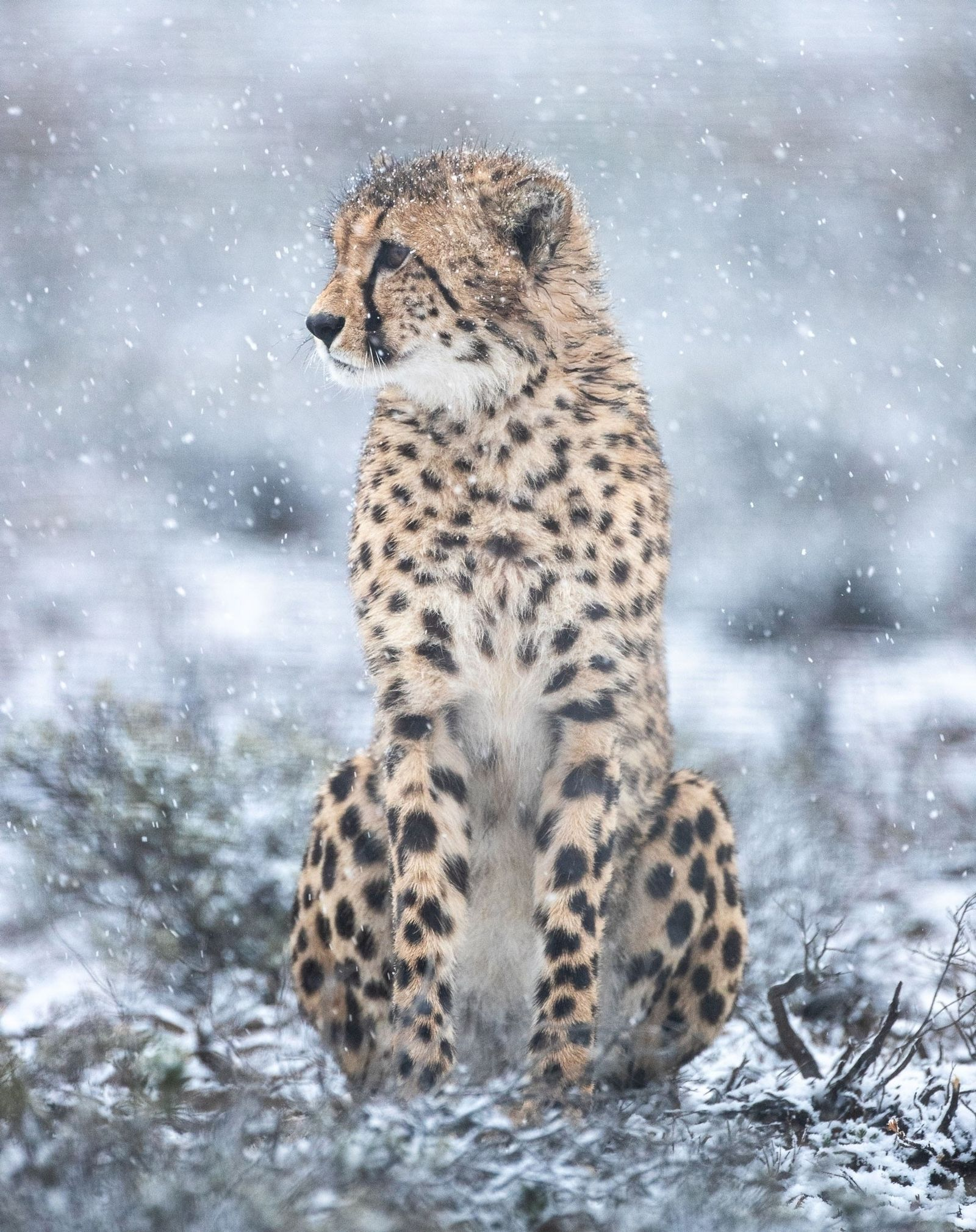 A male cheetah recently released into Rogge Cloof Nature Reserve surveys the landscape. The newly transplanted ...