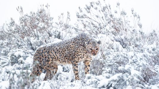 Rare photographs show African cheetahs in snowstorm