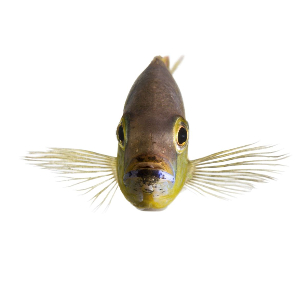 Some African cichlid fish, native to Lake Tanganyika in East Africa, are able to distinguish familiar ...