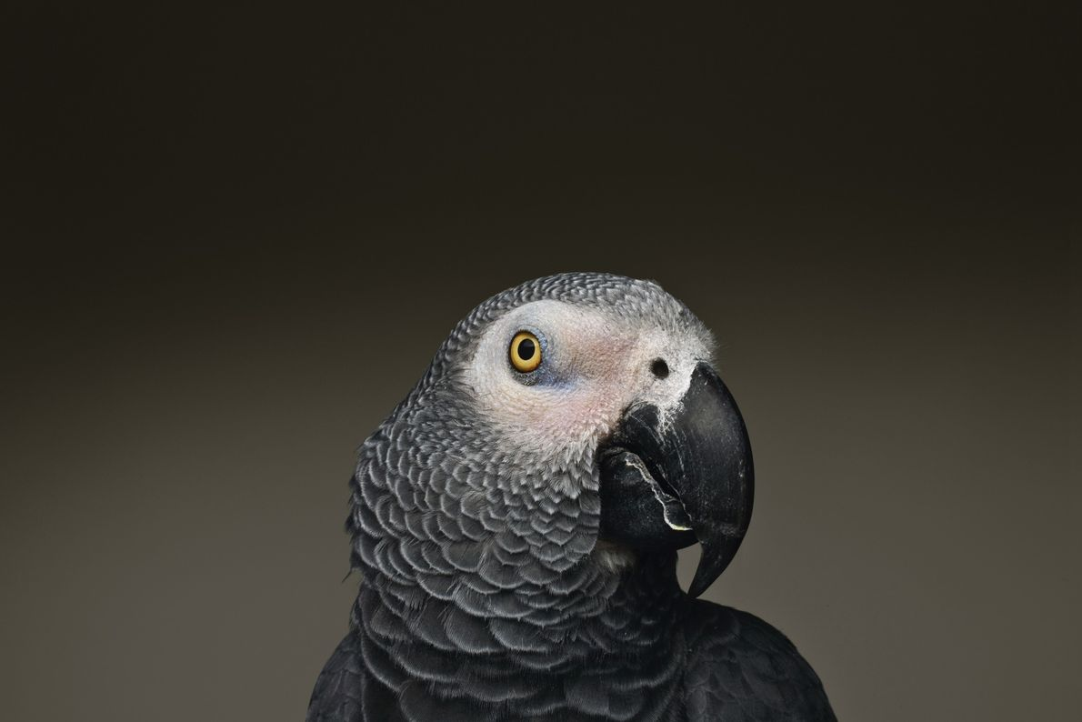 African gray parrots are renowned for their ability to mimic human speech. Studies have also shown ...