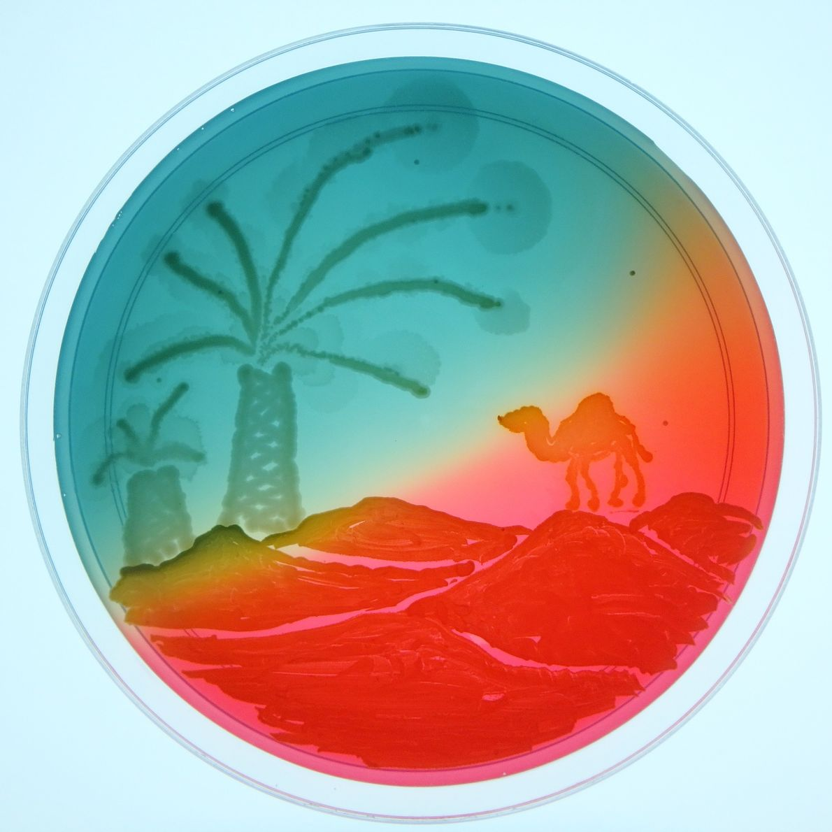 """An agar artist created this desert scene using pathogens that cause urinary tract infections in """"water-stressed ..."""