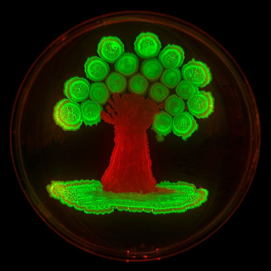 Fluorescent protein genes introduced into two strains of Bacillus subtilis made this tree glow. Without the ...