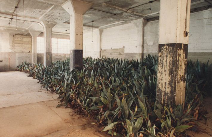 During a renovation of the agave trail in the early 1990s, the plants were temporarily stored ...