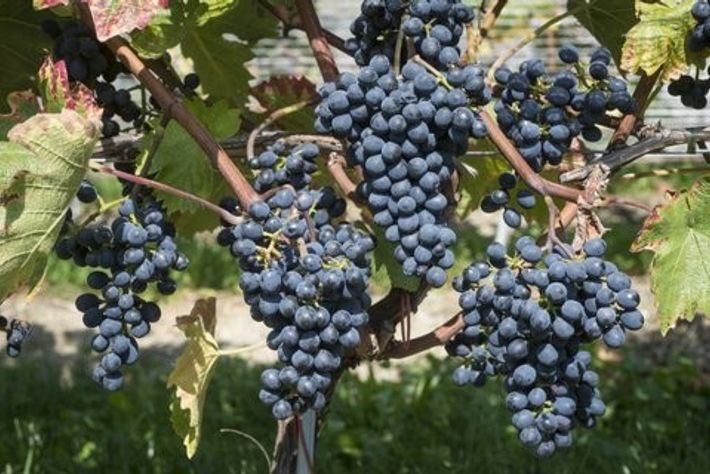 The Divico grape is resistant not only to frost, but some common fungus conditions that plague temperate ...