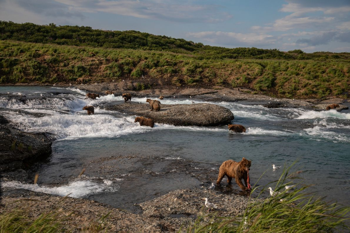 Brown bears fish for salmon at Alaska's McNeil Falls, home to one of the largest seasonal ...