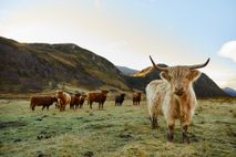 Cows in the Scottish Highlands.