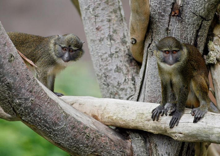 These Allen's swamp monkeys, seen at the San Diego Zoo in 2006, were rescued from the ...