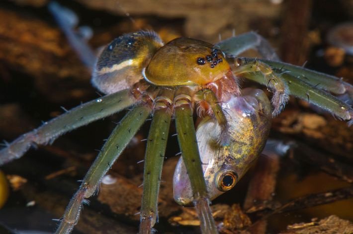 A fishing spider preys on a tadpole in a pond in the Peruvian rainforest.