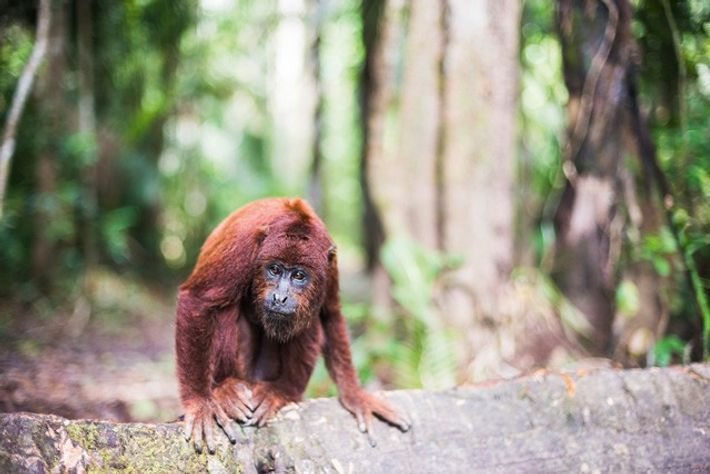 Red howler monkey.