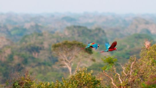Red and green macaws flying over the canopy of the Peruvian rainforest, near Tambopata