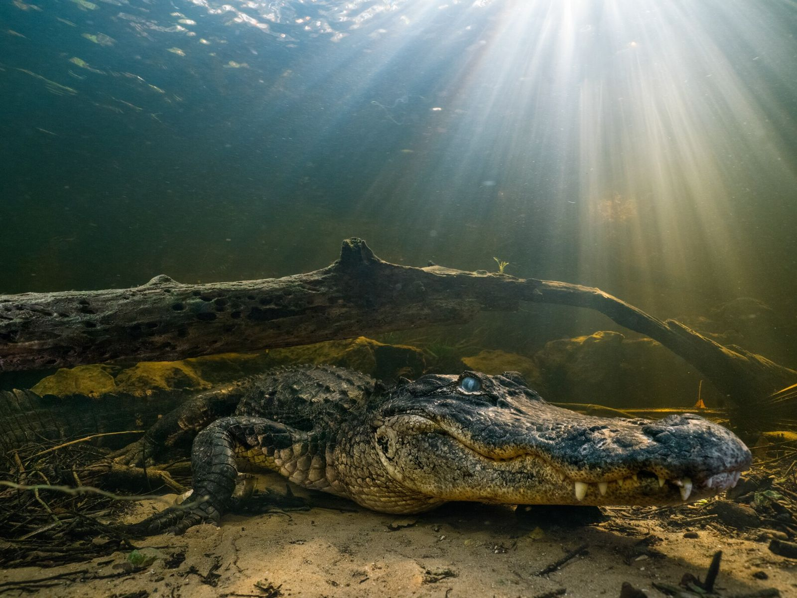 American alligators are vulnerable as youngsters, prey to birds, raccoons, and other gators. A study found ...