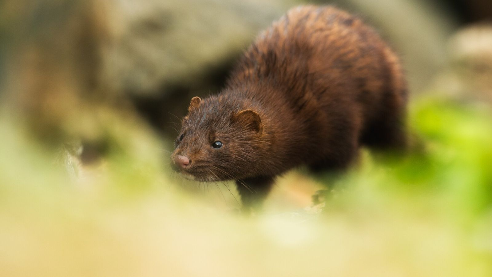 An American mink, like the one pictured here, is the first wild animal to test positive ...