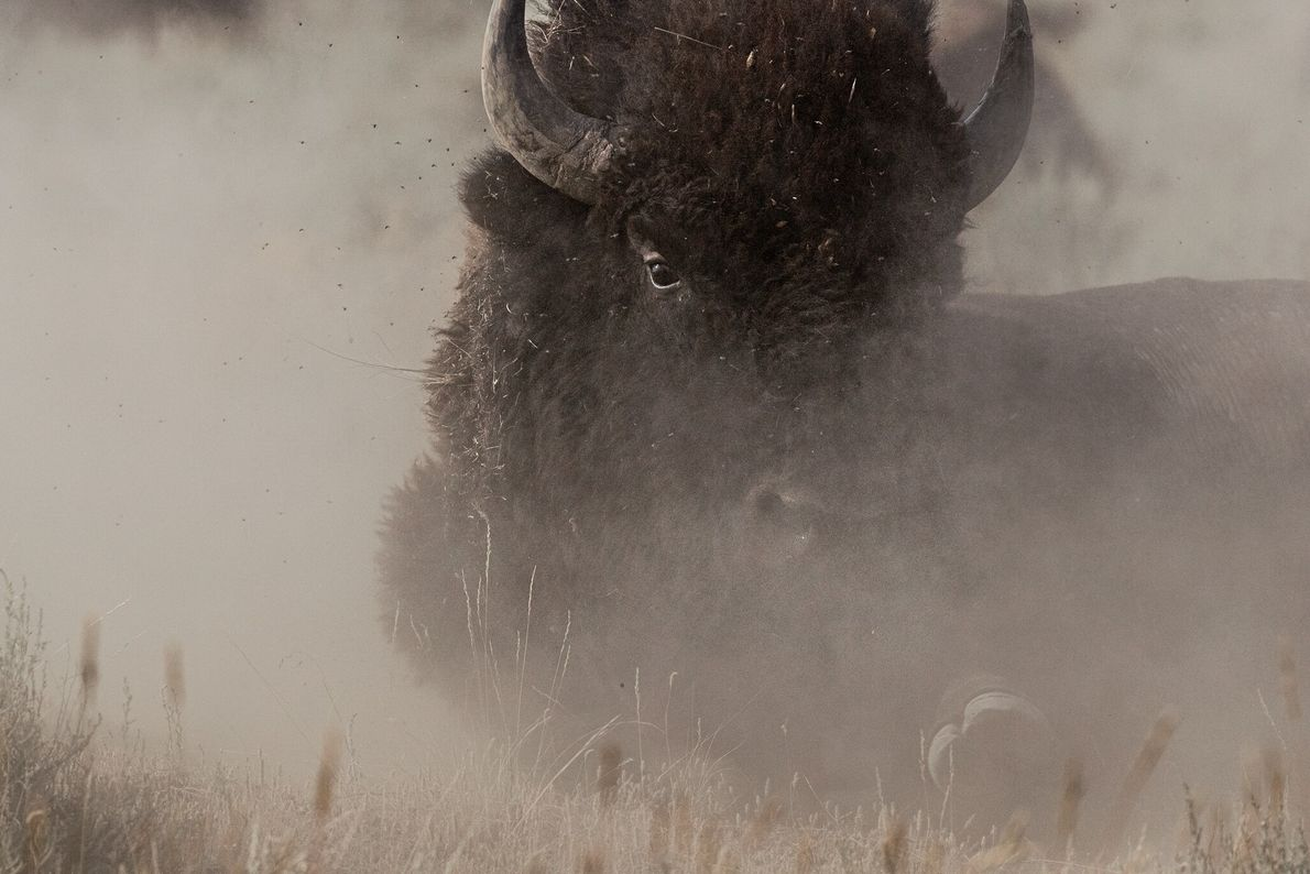 A bison wallows in dust on the American Prairie Reserve, a conservation project aiming to create ...