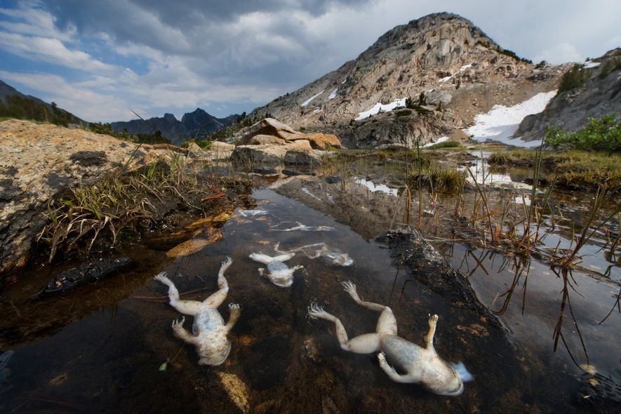 In California's Sierra Nevada Mountains, frogs are dying from chytrid fungus.