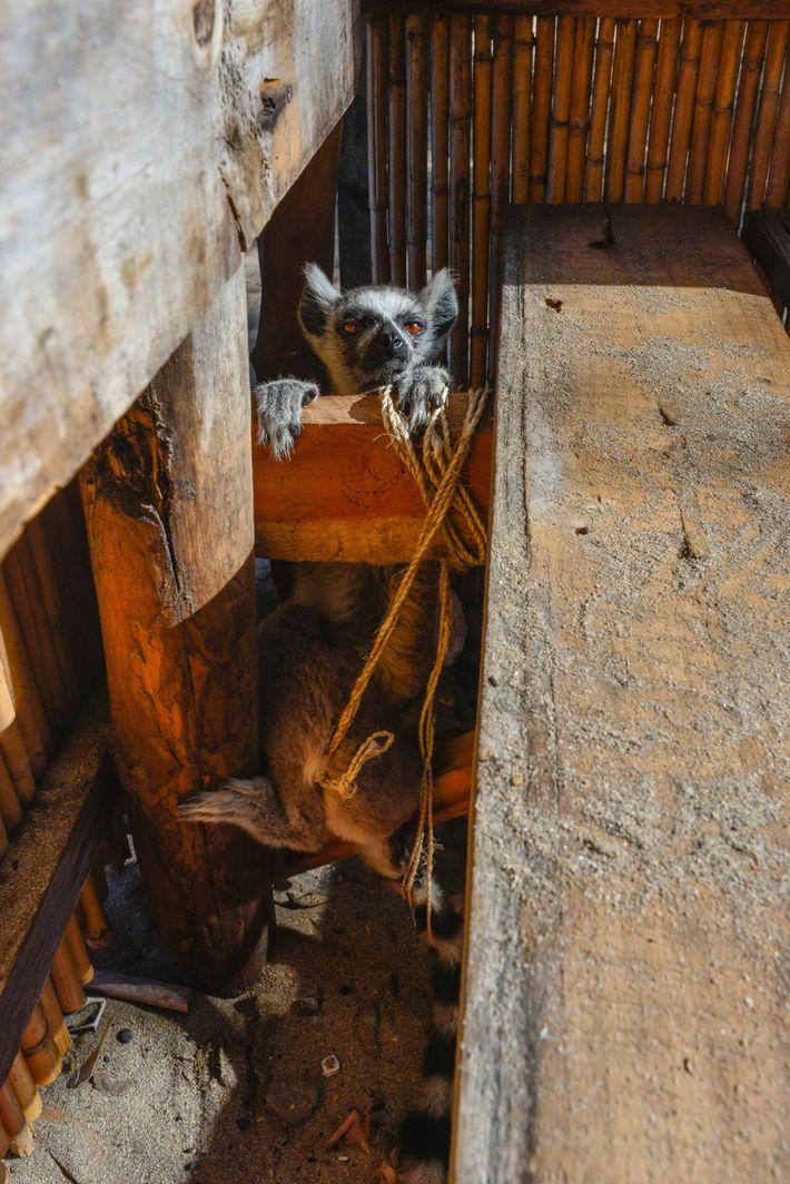 Pet lemur in Madagascar