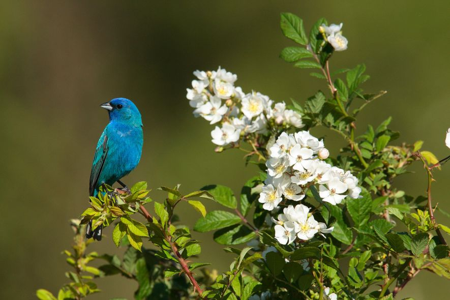 To determine their direction, Indigo buntings observe the rotation of close star patterns around a center point, such as the North Star.