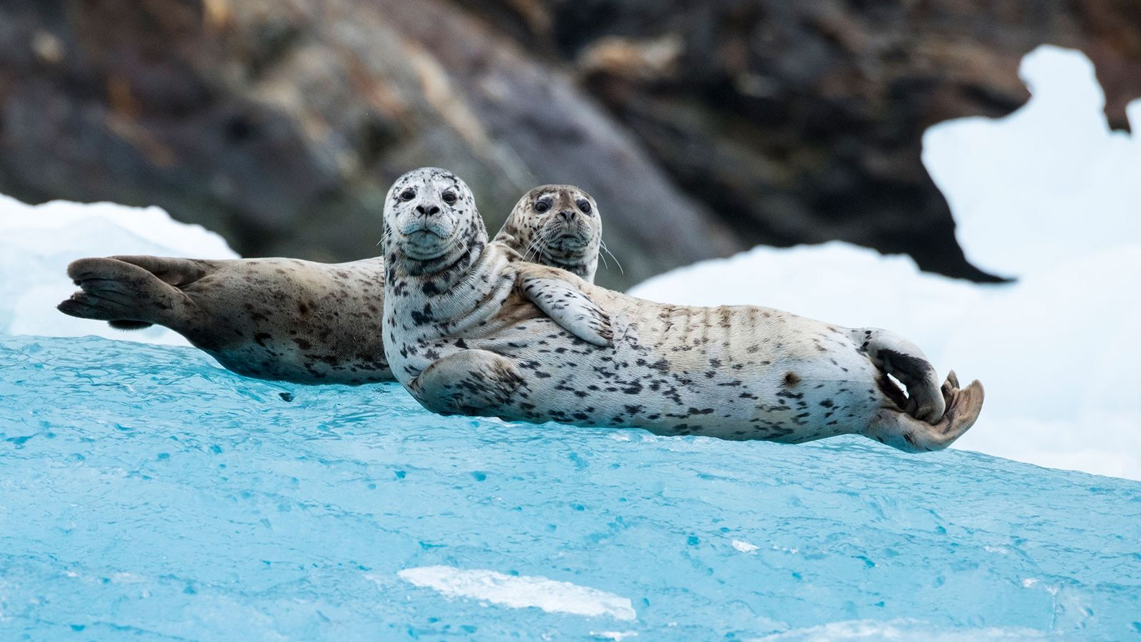Harbour seals (pictured, two curious individuals on Alaska's South Sawyer Glacier) are the first marine mammals ...