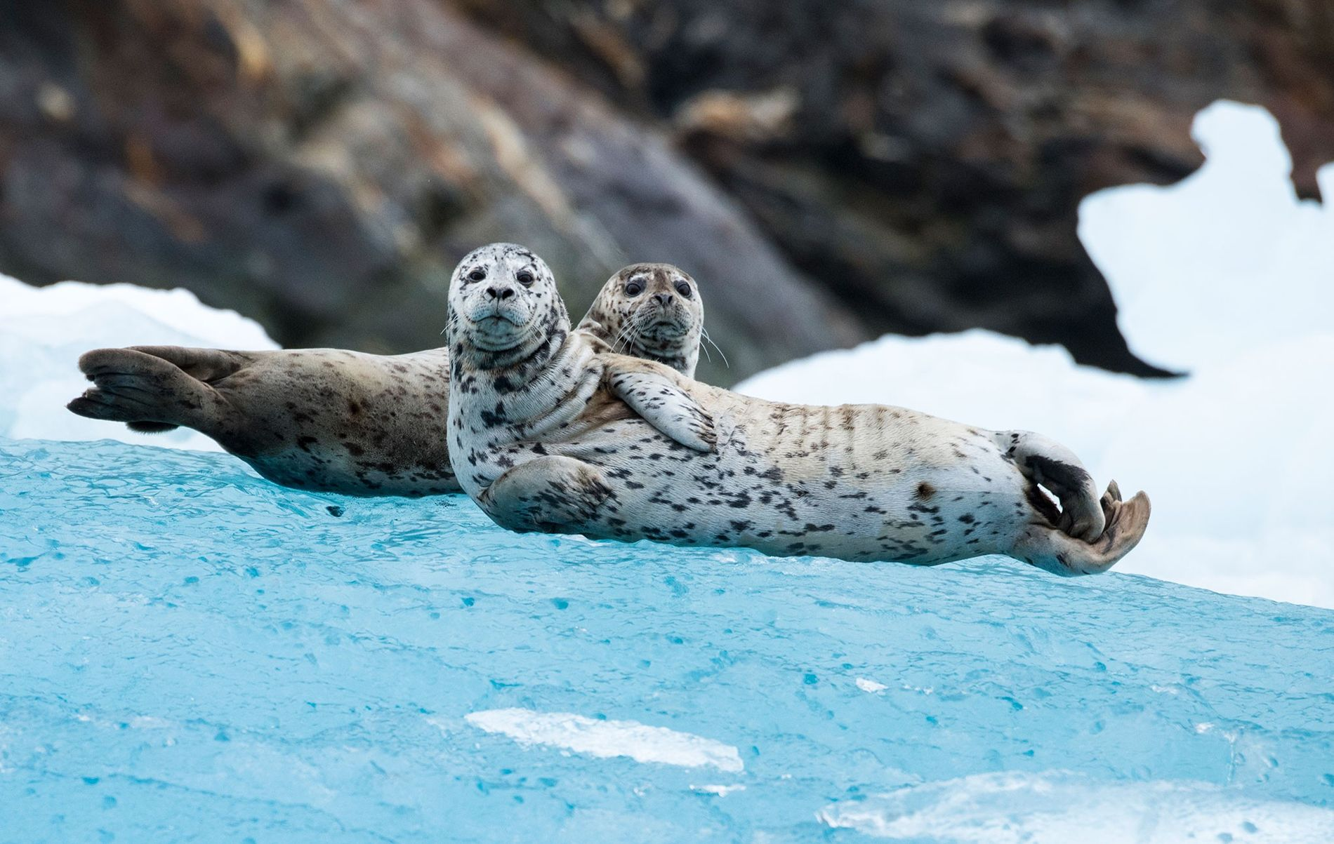 Harbour seals (pictured, two curious individuals on Alaska's South Sawyer Glacier) are the first marine mammals known to orient by the stars.