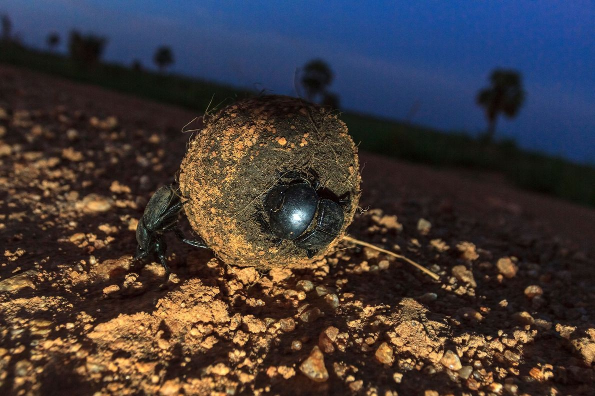 From dung beetles to seals, these animals navigate by the stars