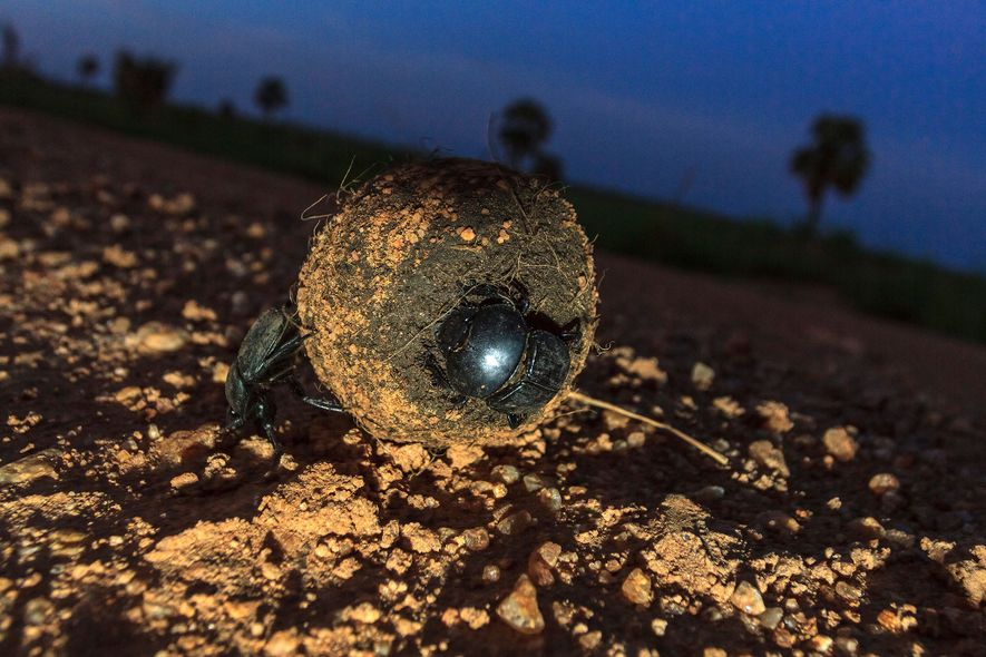 A dung beetle of the S. sacer species pushes a dung ball in Uganda. Several dung beetles are known to navigate using celestial bodies.