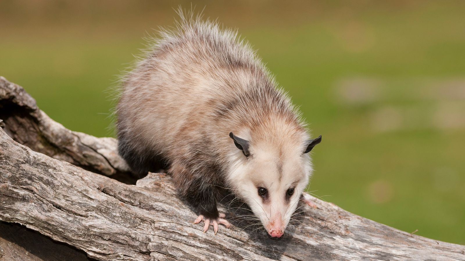 A Virginia opossum (pictured in Michigan) is a far cry from the possums of the Pacific ...