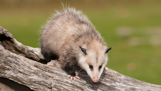 Bison or buffalo? Possum or opossum? What's the difference?