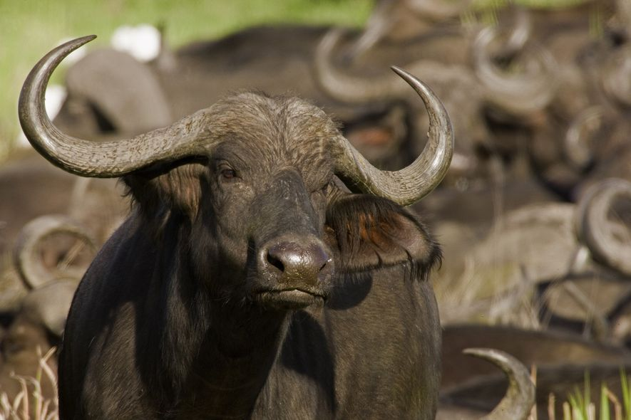 The African buffalo is the most populous herbivore in Africa. Above, an animal is seen in ...