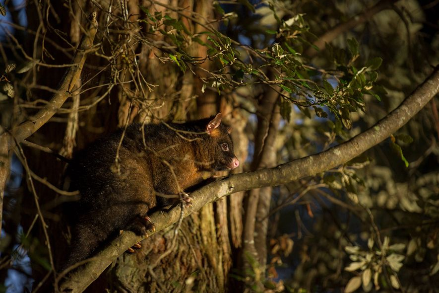 A ringtailed possum climbs a tree in Mount Field National Park in Tasmania.