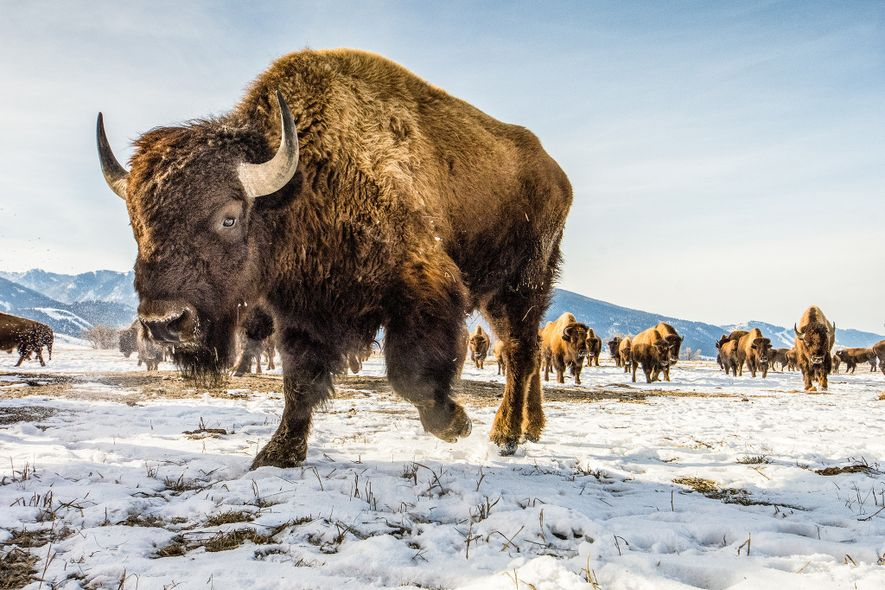The American bison (above, an animal roaming the National Elk Refuge in Wyoming) is not closely ...