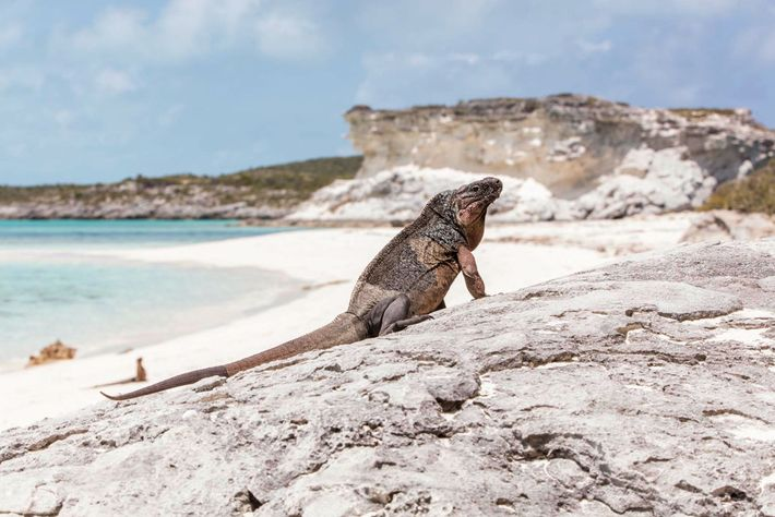 On this island in the Exuma Cays, iguanas have learned that people on the beach could ...