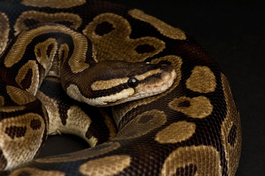 Only 8 percent of the world's reptiles are listed under CITES, the treaty that regulates international ...
