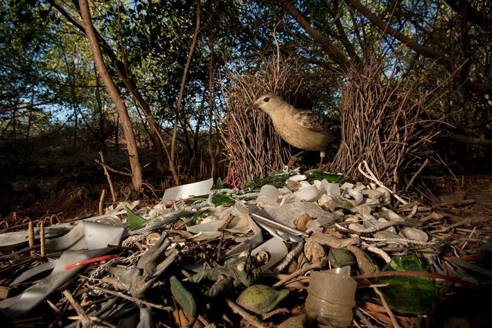 A great bowerbird in Queensland, Australia, decorates its home with broken glass, plastic toys, and other ...