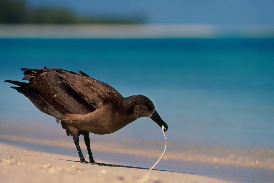 A black-footed albatross tucks into plastic rubbish on the Leeward Islands of Hawaii. Seabirds depend on ...