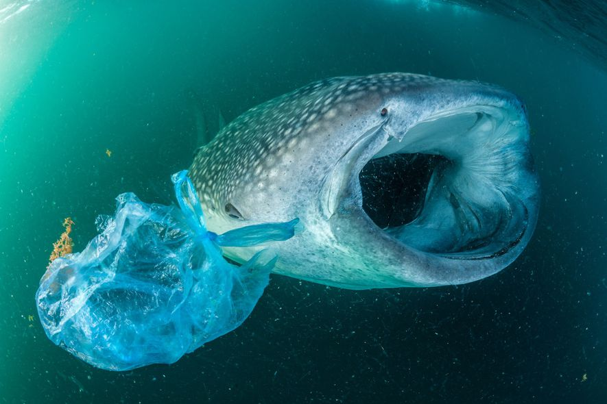 A whale shark swims beside a plastic bag in the Gulf of Aden near Yemen. Although ...